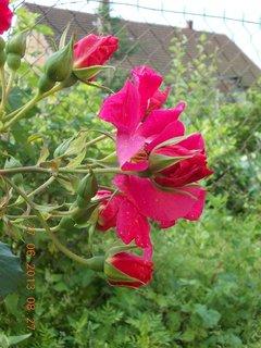 FOTKA - 27.6. - 2.7. - 2 - červené růže