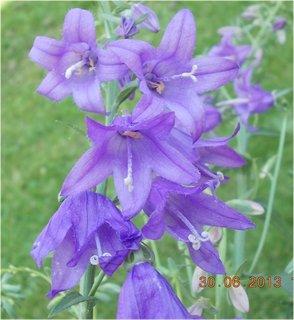 FOTKA - 27.6. - 2.7. - 9 - modrá krása zvonečků
