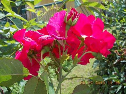 FOTKA - 27.6. - 2.7. - 13 - růže