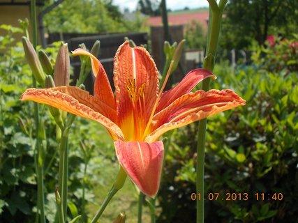 FOTKA - 27.6. - 2.7. - 17 - Denivka, konečně jsem se dočkala květů