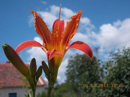 FOTKA - 27.6. - 2.7. - 19 - Denivka, konečně jsem se dočkala květů