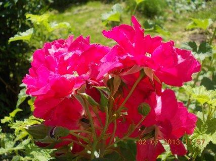 FOTKA - 27.6. - 2.7. - 24 - červené růže