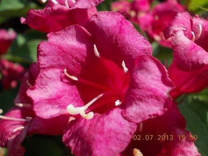 FOTKA - 2.července - 12 - květ Wiegely