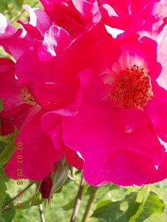 FOTKA - 2.července - 13 - růže
