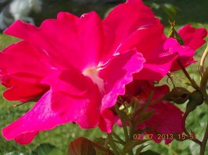 FOTKA - 2.července - 14 - růže