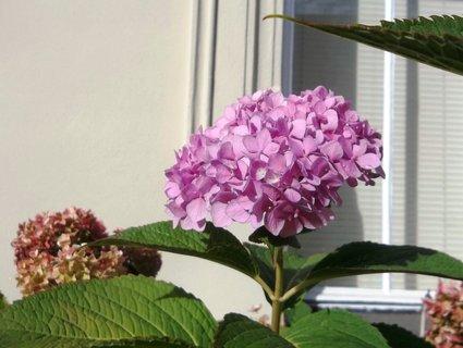 FOTKA - Kvetou hortenzie. . .