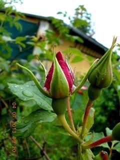 FOTKA - 4.července - 12 - poupata růží