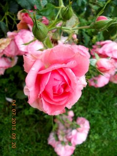 FOTKA - 4.července - 16 - rozkvetlá růže