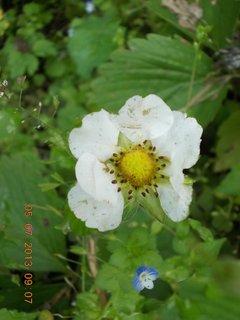 FOTKA - 5.červenve - 12 - jahodový květ
