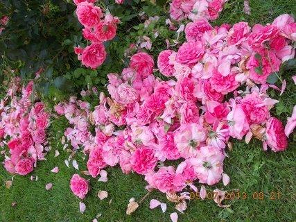 FOTKA - 5.červenve - 19 - mám na růžích ustláno, ostříhala jsem křapáče