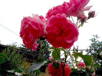 FOTKA - 5.červenve - 26 -  růže