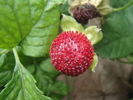 FOTKA - lesná jahoda v záhrade