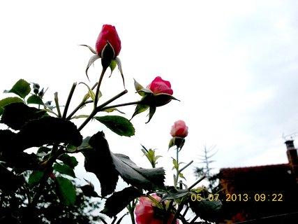 FOTKA - 4.7. - 6.7. - 11 - poupata růží, až k nebi ční
