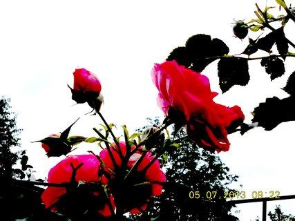 FOTKA - 4.7. - 6.7. - 12 - poupata růží, až k nebi ční