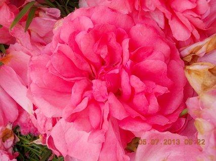 FOTKA - 4.7. - 6.7. - 15 - růže rozkvetlá