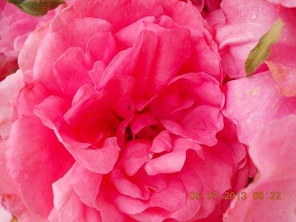 FOTKA - 4.7. - 6.7. - 16 - růže rozkvetlá