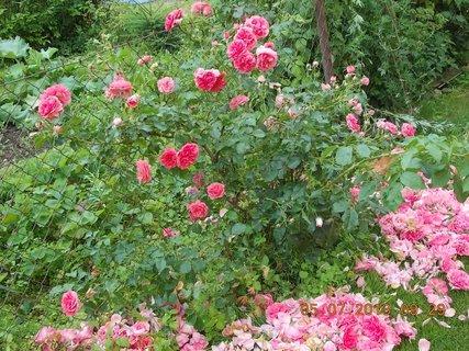 FOTKA - 4.7. - 6.7. - 20 - růžím jsem udělala sestřih