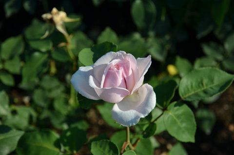 FOTKA - Zámecká růže