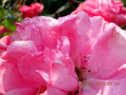 FOTKA - ranní rosa včera - 26