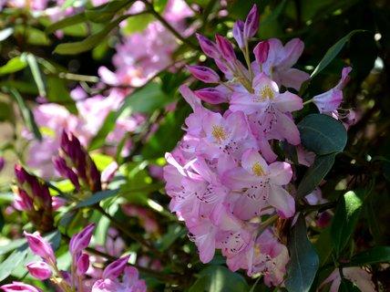 FOTKA - Rododendrony v Žlebské zahradě