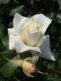 FOTKA - biela ruža s pukom
