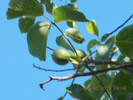 FOTKA - příroda je krásná - 4 - ořechy vlašské