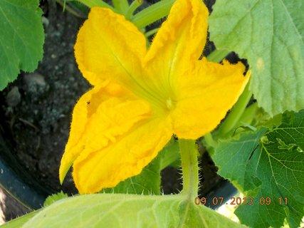 FOTKA - příroda je krásná - 15 - květ Dýně, ale samý planý, žádný na plod nemám ještě letos