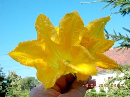 FOTKA - příroda je krásná - 16 - květ Dýně, ale samý planý, žádný na plod nemám ještě letos