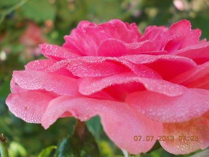 FOTKA - Léto - 2 - rosa