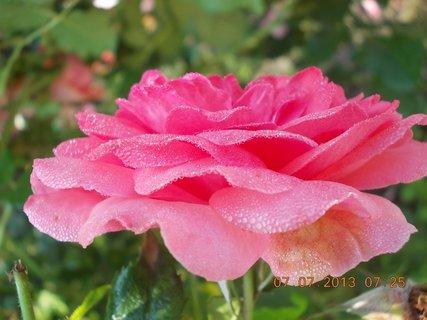 FOTKA - Léto - 3 - rosa
