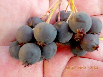 FOTKA - Léto - 13 - Kanadské borůvky, jsou tak dobré, ale je jich málo