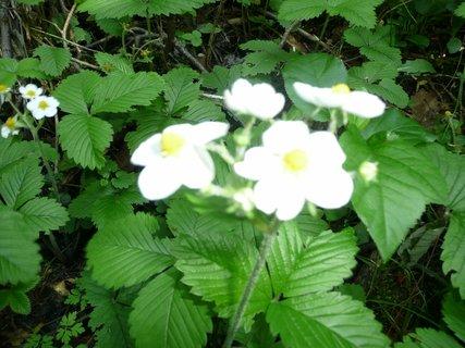 FOTKA - Lesní jahody v květu