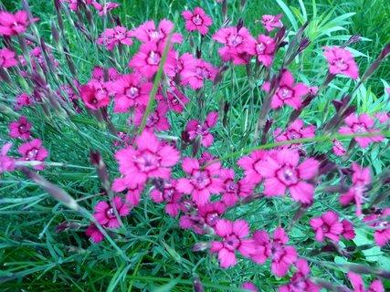 FOTKA - Růžové skalničky 3