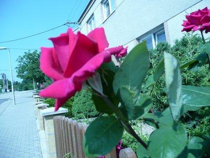 FOTKA - Červená růže