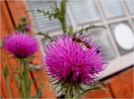 FOTKA - červenec - 11 - kvěyt na bodláku