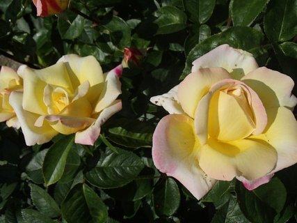 FOTKA - kríkové ruže