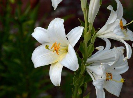 FOTKA - Kostelní lilie