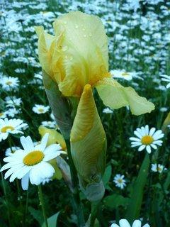 FOTKA - Žlutý kosatec 4