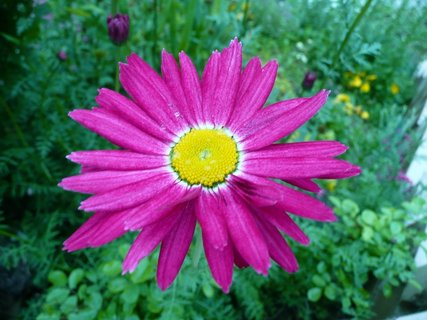 FOTKA - Růžový květ v zahradě 5