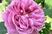 růže 36