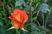 růže 38