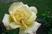 růže 40