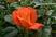 růže 42