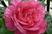 růže 43