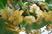 kiwi úplně rozkvetlé
