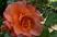 růže 45