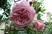 pnoucí růže růžová