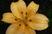první lilie