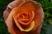 růže 50