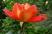 růže 57